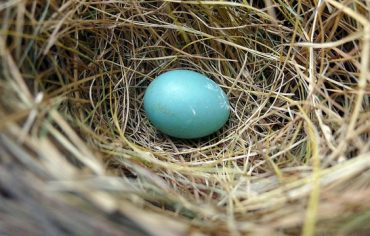 nest-egg-robin