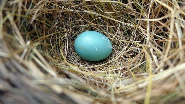 nest-egg-robin