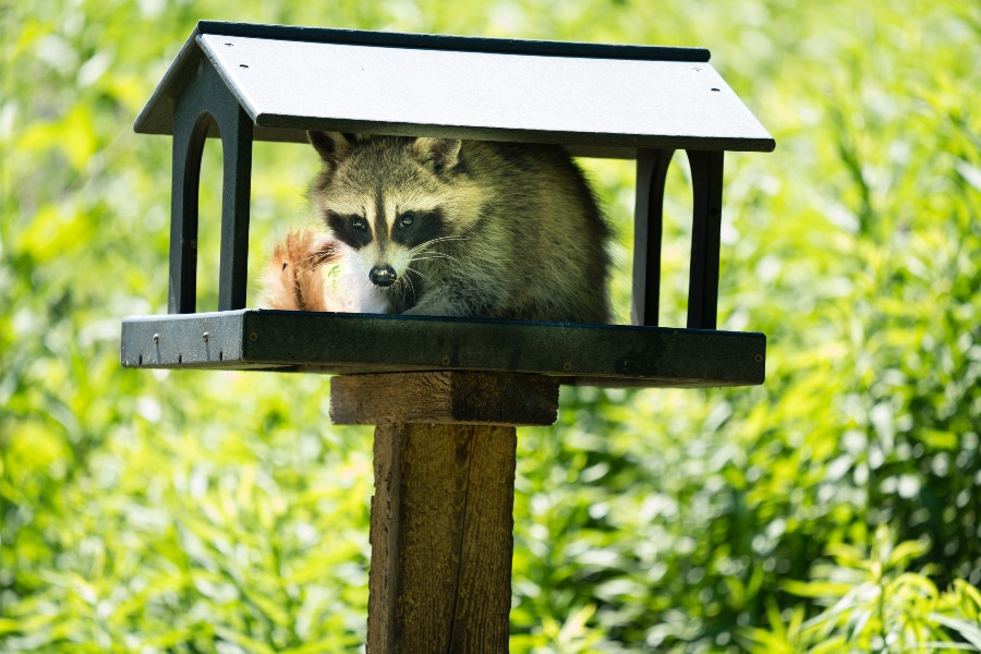 does-homeowners-insurance-cover-raccoon-damage-raccoon-birdfeeder-house